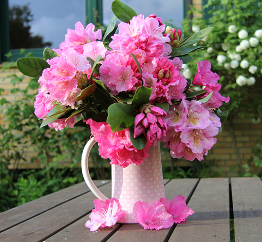 Rhododendron – Poppig in Pink